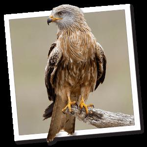 Rode wouw (Milvus milvus)