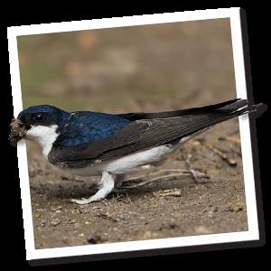 Huiszwaluw (Delichon urbicum)