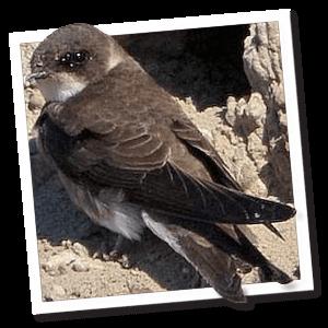 Oeverzwaluw (Riparia riparia)